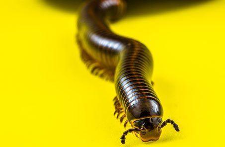 millipede crawl space pest